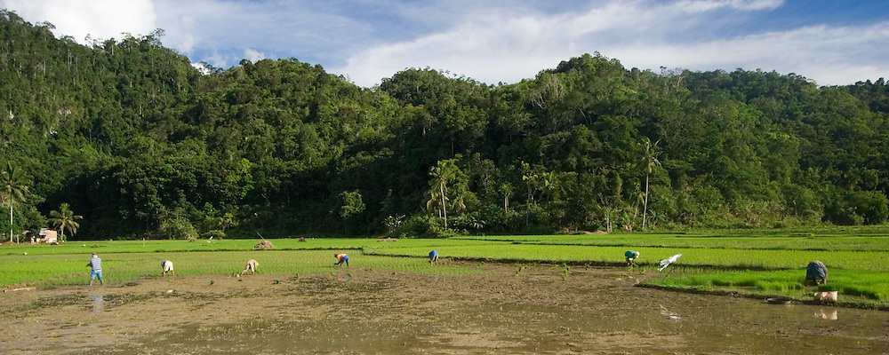 People working in a rice field, Bohol, Philippines