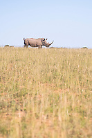 White Rhino running across a short grassland, Shamwari Private Game Reserve, Eastern Cape, South Africa