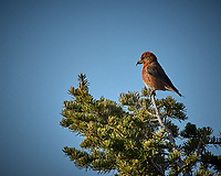 Male Red Crossbill in a pine tree. Rocky Mountain National Park. Image taken with a Nikon D2xs camera and 70-200 mm f/2.8 lens and TC-E 1.4 teleconverter (ISO 100, 280 mm, f/11, 1/320 sec).