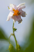 The flower on an potatoe plant is quite beautiful, it kan be white or purple.