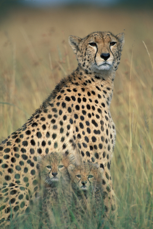 Kenya, Masai Mara Game Reserve, Cheetah (Acinonyx jubatas) sitting in tall grass with young cubs on savanna