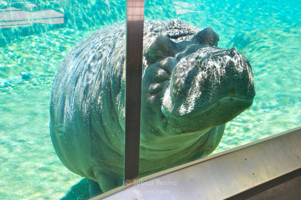 A hippopotamus escaping the midday heat at the San Diego Zoo.