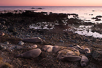 Elephant Seal Rookery at Sunset, Point Piedras Blancas near San Simeon, California