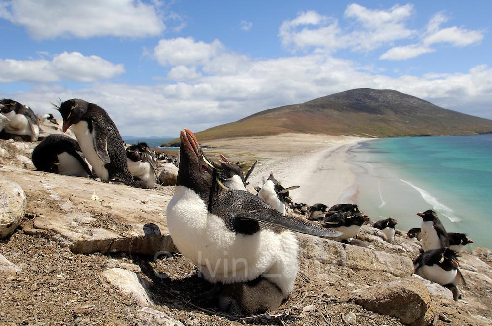 Nach einer halsbrecherischen Klettertour über steile Felsen sind die Felsenpinguine (Eudyptes chrysocome) in ihrer Brutkolonie hoch über dem Meer angekommen. Dort werden die etwa 10 Tage alten Küken noch von jeweils einem Elternteil gehudert und so vor den Witterungseinflüssen und vor Freßfeinden geschützt.   After climbing the steep rocks the rockhopper penguins (Eudyptes chrysocome) reach the breeding colony high above the sea. At an age of ca. 10 days the chicks are still guarded by one of the adults which take turns at giving them shelter from the sun, the wind and predators.  [size of single organism: 50 cm]