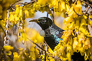 Tui portrait along the golden flowers of a kowhai, a native Sophora tree from New Zealand.