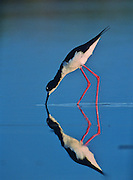 Hawaiian Stilt feeding in a shallow pool on Maui.