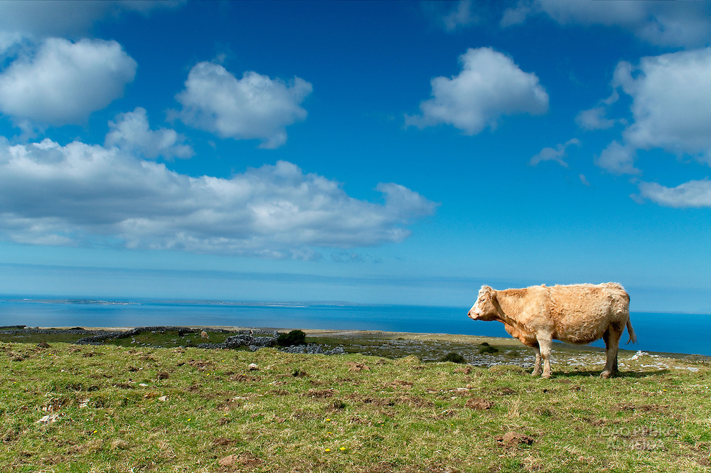 Cow at pasture  by the ocean at Western Ireland