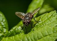 HALFWEG - insecten op de golfbaan ,paardenvlieg, Amsterdamse Golf Club. (AGC)  . Insecteninventarisatie  COPYRIGHT KOEN SUYK