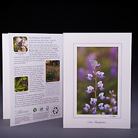 NH's state butterfly, the karner blue on the native wild blue lupine.  Both species are rare in NH and found in one small habitat called the pine barrens. Also available as a Limited Edition Fine Art Print. <br />