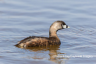 00610-00501 Pied-billed Grebe in wetland Marion Co.  IL