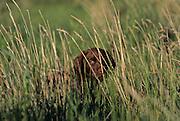 34-221. A chocolate Labrador puppy peers through the grass.
