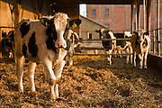Cows breeding and milk production in Poland photo Piotr Gesicki
