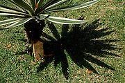 A type of palm under the morning sun n a park in Singapore