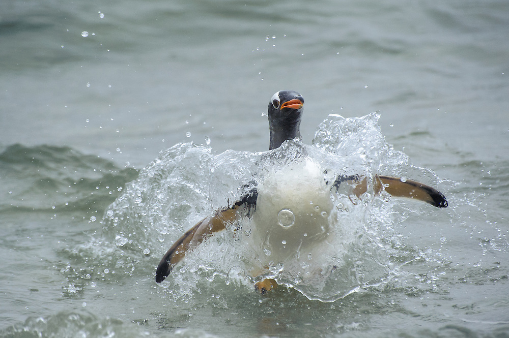 A Gentoo Penguin (Pygoscelis papua) jumps out of the water escaping from a sea lion..Falkand Islands.Antarctica