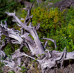 Dead Tree, Mt. St. Helens National Volcanic Monument, Washington, US