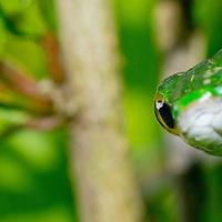 Alberto Carrera, Parrot snake, Satiny Parrot Snake, Leptophis depressirostris, Tropical Rainforest, Corcovado National Park, Osa Conservation Area, Osa Peninsula, Costa Rica, Central America, America