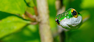 Alberto Carrera, Parrot snake, Satiny Parrot Snake, Leptophis depressirostris, Tropical Rainforest, Corcovado National Park, Osa Conservation Area, Osa Peninsula, Costa Rica, Central America, America