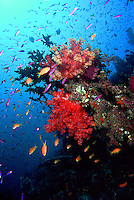 "A coral head with ""blooming"" soft coral trees, Dendronepthia sp., shimmers with wolor as schooling anthias, Pseudanthias sp., swim about.  This image portrays the quintessential healthy coral reef landscape, in its full, vibrant, splendor.  Present are healthy hard and soft corals, swarms of fish, and countless unseen invertebrates.  Shot in the Eastern Fields region of Papua New Guinea."