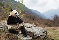 Giant panda, Ailuropoda melanoleuca, sitting upright on rock in the mountains, eating bamboo.