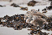 Baby Kelp goose chicks huddle close together and are camouflaged by the sand and kelp.
