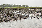 eastern oyster (Crassostrea virginica) beds in Timucuan Ecological and Historic Preserve, Florida. The beds were closed to harvesting 1994 due to water quality concerns.