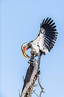 Displaying Yellow-Billed Hornbill, Madikwe Game Reserve, North West Provonce, South Africa