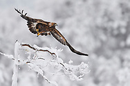 Golden eagle, Aquila chrysaetos, at an eagle watching ecotourism site, Frost winter, minus - 30 C in the boreal Taiga forest Kalvtrask, Västerbotten, Lapland, Sweden
