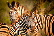 In the African veld, the zebra are the bar-coded animals