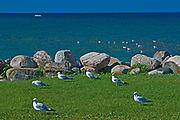 Ring-billed gull (Larus delawarensis)  on shore of Georgian Bay at Nottawasaga Bay<br />