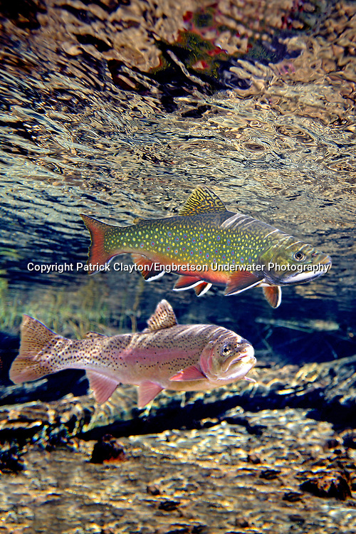 Brook Trout (with Rainbow Trout beneath)<br /> <br /> Patrick Clayton/Engbretson Underwater Photography