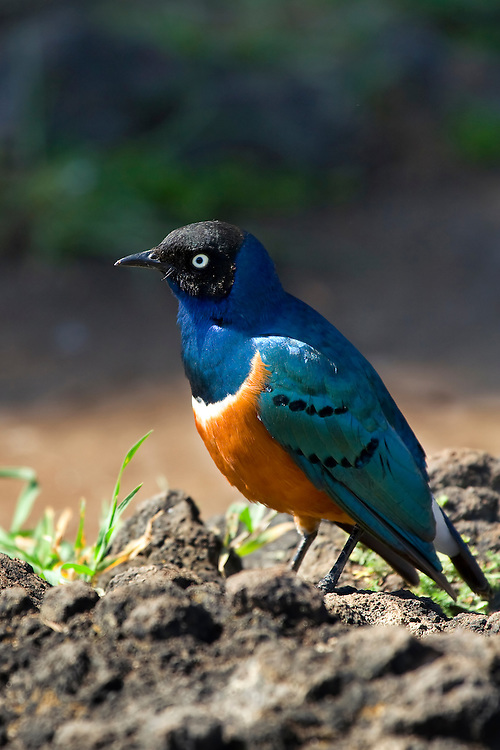 (Lamprotornis superbus) A common site at safari picnic sites, the Superb Starling is a very beautiful bird. They often travel in large flocks. Ngorongoro Conservation Area, Tanzania