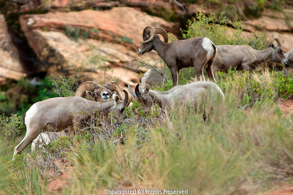 Desert Bighorn Ram Scarface teaching Kids to butt heads Utah