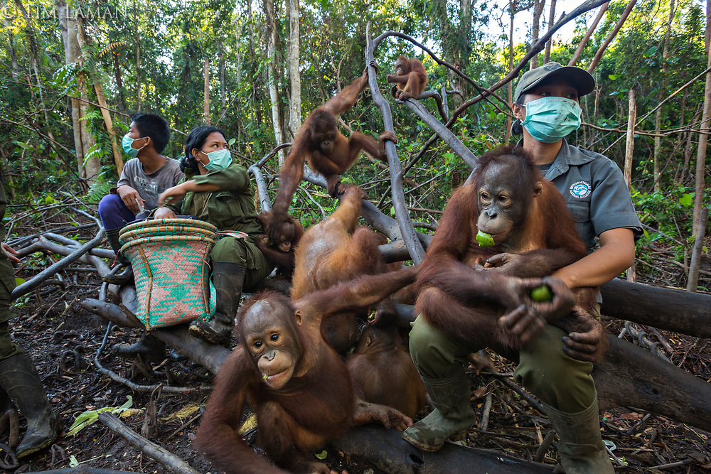 Keepers at IAR spend time with a group of juvenile orangutans in a patch of forest where they are learning skills for the wild <br /> <br /> International Animal Rescue (IAR)<br /> Ketapang <br /> West Kalimantan Province<br /> Island of Borneo<br /> Indonesia