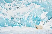 En stor isbjørn hann foran den fargesterke Von Postbreen innerst i Tempelfjorden på Spitsbergen, Svalbard. Mars.
