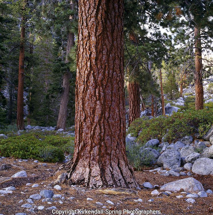 BB07478-01...CALIFORNIA - Jeffrey Pine (Pinus Jeffreyi) along the South Fork San Joaquin River in Kings Canyon National Park.