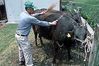 """photo©Tom Wagner<br />Ichiro Tochigi, 70 years old, give a sake soaked <br />massage to """"Sachi"""", one of his Matsuzaka beef cows in Mie prefecture, near Matsuzaka, Japan."""