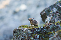"Mouse-like in appearance, the American pika is a relative of rabbits and hares and is not a rodent. This one on Mount Rainier remained alert with the occasional surprisingly loud bark that is meant as an ""intruder alert"" alarm for other members of the colony. At least two different individuals were taking turns as I wound my way through the rocky trail across their home territory."