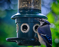Blue Jay at a bird feeder. Image taken with a Fuji X-H1 camera and 200 mm f/2 OIS lens + 1.4 x teleconverter