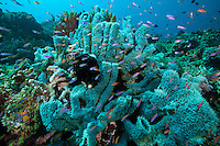 Sponges and Anthias..Shot In Indonesia
