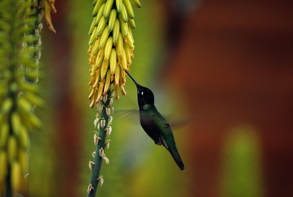 Broad-tailed hummingbird feeding on flower, close-up