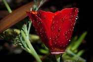 A scarlet red California poppy seems to glow, as it drips with raindrops<br /> <br /> More about this image on the blog: https://goo.gl/oDbF1T