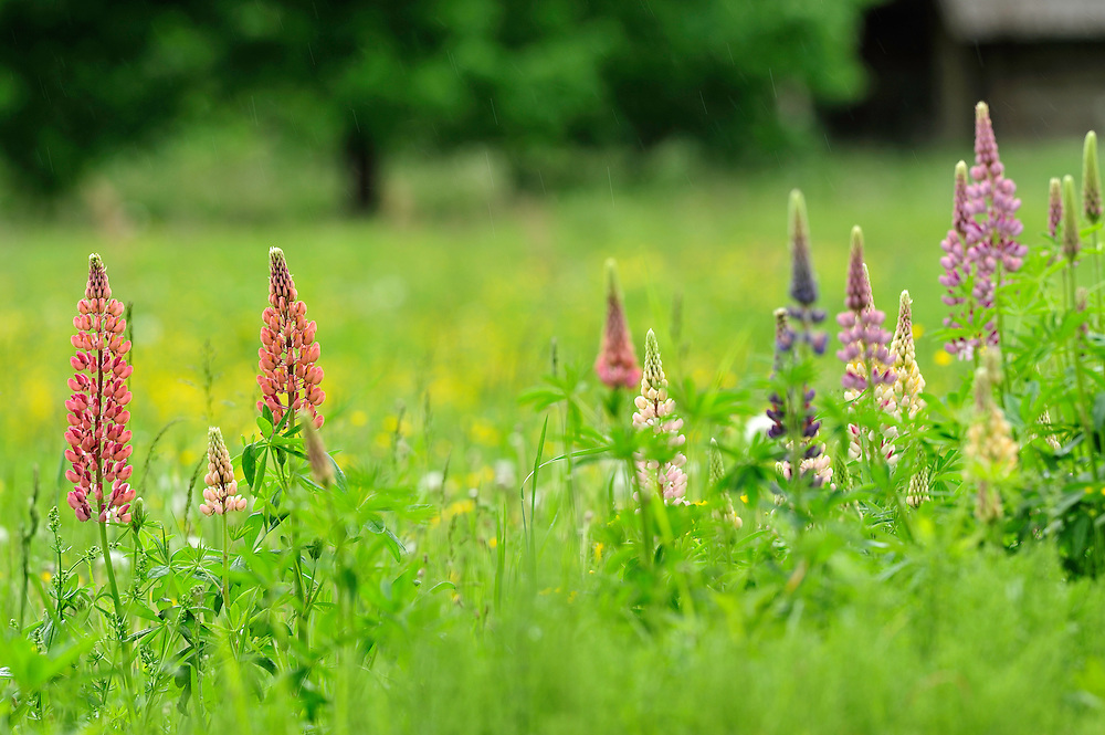 Lupina flowers, Lupinus, lupin in Latvia, no wild plant