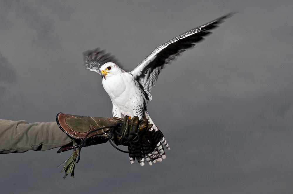 Europa, DEU,Deutschland, NRW,Nordrhein-Westfalen, Ein Sakerfake sitzt fl&uuml;gelschwingend auf dem Handschuh ei nes Fakners  - der Sakerfalke, die Sakerfalken<br /> engl. Saker falcon  -ornithologisch lat .: Falco cherrug |  Europe, Germany, falconry, Falcon, Sakerfalcon,Falco cherrug   | <br /> <br /> <br /> [CREDIT: <br /> Frank-Udo Tielmann  -  Hogenbergstr. 3    50733 Koeln -  Germany<br /> <br /> phone +49 221 725577 <br /> mail@frankudo.com  <br /> <br /> Bank: Targobank <br /> IBAN: DE71300209001404601186 <br /> BIC:   CMCIDEDD <br /> <br /> Ver&ouml;ffentlichung nur gegen Honorar, Urhebervermerk und Belegexemplar ] <br /> <br /> [#0,26,121#]