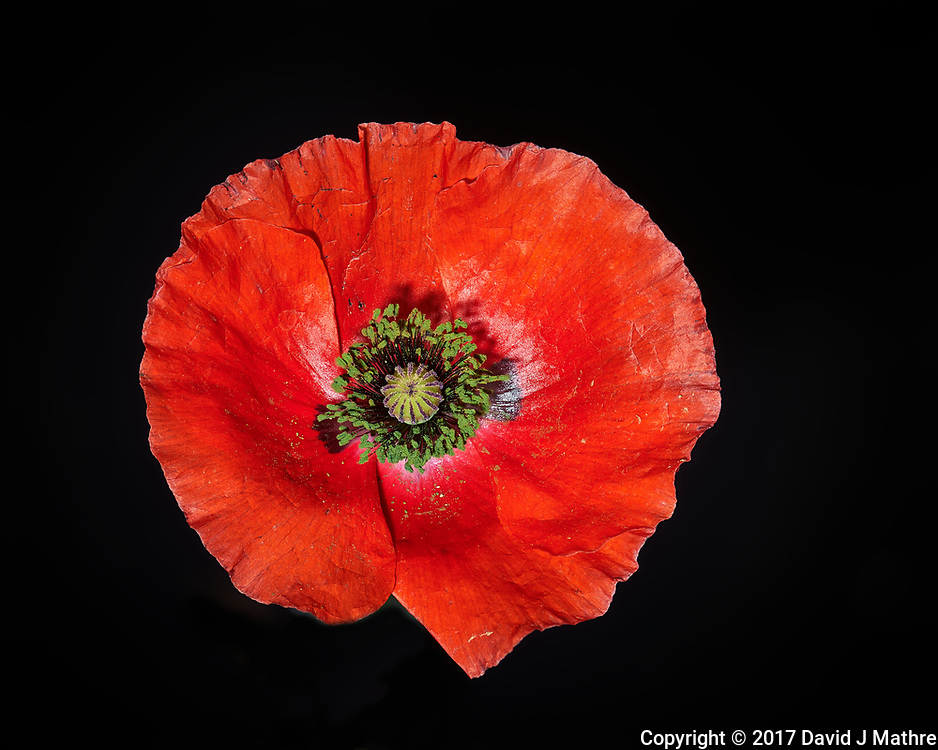 First Red Poppy flower this year. Backyard spring nature in New Jersey. Composite of 74 focus stacked images taken with a Nikon Df computer and 105 mm f/2.8 VR macro lens (ISO 100, 105 mm, f/4, 1/200 sec) and SB-910 flash (TTL, EV 0). Kirk linear track 1 mm intervals over 7.4 cm. Composite created using Helicon Focus (Method A, R=8, S=4)
