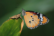 A Butterfly Resting On A Large Green Leaf Against A Green Background, Plain Tiger, Danaus Chrysippus