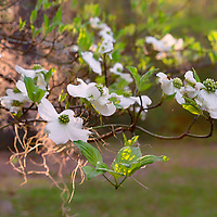 Backlit dogwood flowers at Old Sheldon Church, near Beaufort, South Carolina