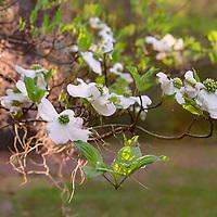 Backlit dogwood flowers at Old Sheldon Church, near Beaufort, South Carolina
