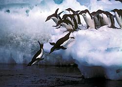 Antartica..O Pinguim de Adelia eh uma especie de pinguim que habita a Antartida. Eh uma das unicas especies que nidificam neste continente. Os pinguins de Adelia tem sido objeto de estudo de cientistas de uma estacao de investigacao situada na proximidade de algumas ilhas onde esses pinguins nidificam. A partir de Outubro, os pinguins escolhem regioes de solo nu, nas encostas mais abrigadas, onde constroem ninhos com pedregulhos. Durante os ultimos 30 anos, tem-se registado um grave declínio na populacao de pinguins que procriam na regiao e que atinge cerca de 70%. O biologo responsavel por estes estudos admite que o declineo da populacao se relaciona com a mudanca climatica que temvindo a ocorrer na regiao..The Adelie Penguin, Pygoscelis adeliae is, together with the Emperor Penguin, one of the only two types of penguin living on the Antarctic mainland. This species is common along the entire Antarctic coast and nearby islands. Aside from the storm petrel, they are the most southerly distributed of all seabirds. In 1830, French explorer Dumont d'Urville named them for his wife, Adelie. Ross Island supports a colony of approximately half a million Adelie penguins..Each penguin is 60 to 70 cm long and around 4 kg in weight. Distinctive marks are the white ring surrounding the eye and the feathers at the base of the bill. These long feathers hide most of the red bill. The tail is a little bit longer than other penguins' tails..Foto: Christiana Carvalho/Argosfoto
