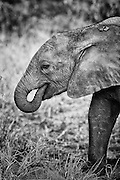 A baby African Elephant with its trunk in its mouth, side view, tight portrait