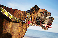 A portrait of a happy, pet boxer dog on the beach with a leash.